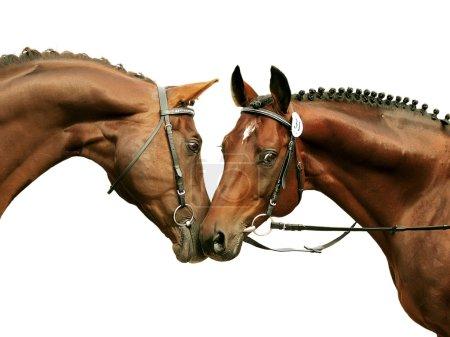 Foto de Dos sementales de raza pura aislados en blanco - Imagen libre de derechos