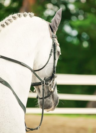 Portrait of jumping white horse in move