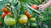 grappe de tomates dans le jardin