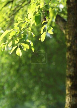 Photo pour Beau fond naturel vert - branche de hêtre éclairée par le soleil (belles tonalités fraîches et rafraîchissantes ) - image libre de droit