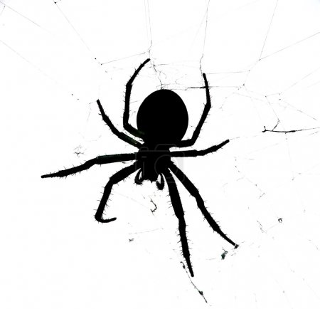 Spider - black spider isolated on white background