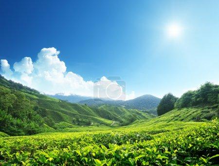 Foto de Plantación de té cameron highlands, Malasia - Imagen libre de derechos