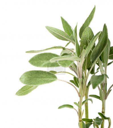 Branches of sage on a white background
