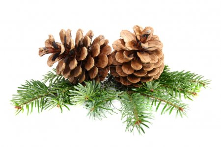 Two pine cones with branch.