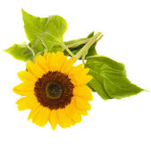 Bight sunflower