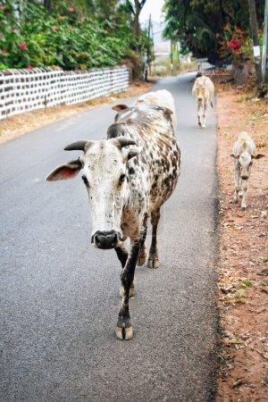 Cows walking in Goa