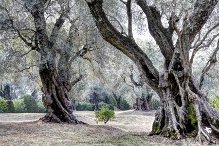 300 years old olive trees