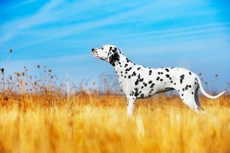 Beautiful Dalmatian dog in a field...