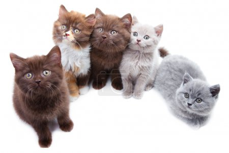 Five cute brititsh kittens