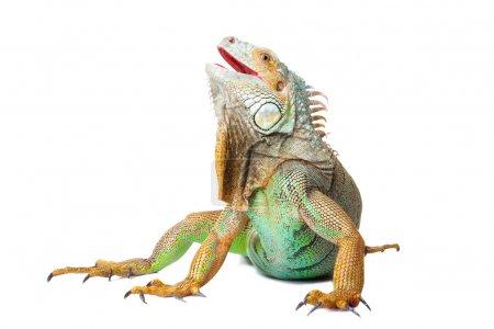 Iguana on isolated white