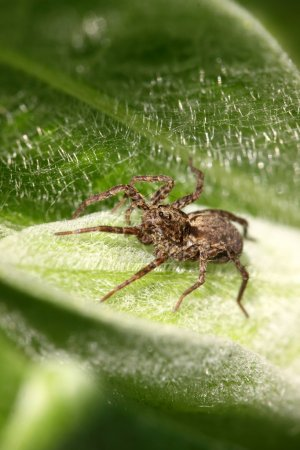 Spider photographed close up on a green leaf