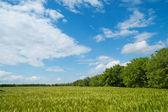 Field of green wheat near wood