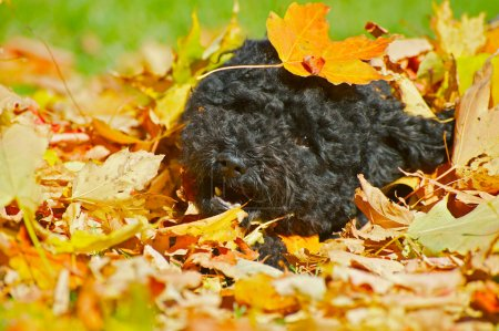 Puppy playing in the autumn leaves.