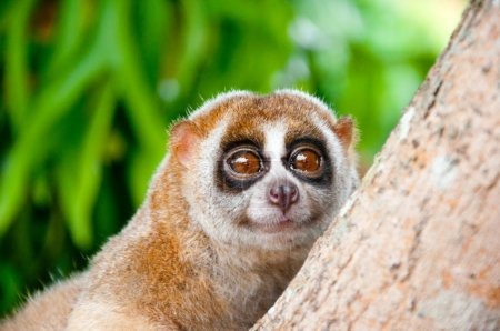 Photo for A picture of a cute slow loris monkey animal in nature - Royalty Free Image