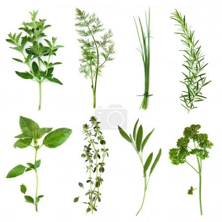 Photo for Herbs collection, isolated on white. Includes oregano, dill, chives, rosemary, basil, thyme, sage and curly parsley. - Royalty Free Image
