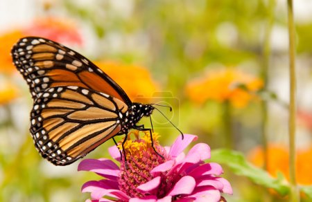 Photo for Monarch butterfly, Danaus plexippus, restoring its energy supply for migration by feeding on a bright pink Zinnia flower - Royalty Free Image