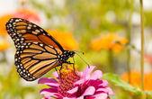 """Постер, картина, фотообои """"бабочка Монарх, danaus plexippus"""""""