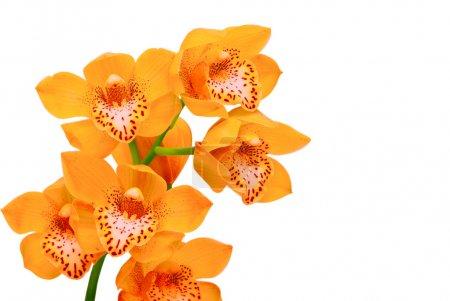 Foto de Orquídea aislado sobre fondo blanco - Imagen libre de derechos