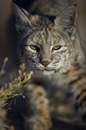 Photo pour Un lynx roux, lynx rufus, traque ses proies dans le parc national de joshua tree, Californie. - image libre de droit