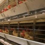 Poultry farm...