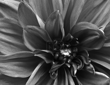 Beautifully toned black and white macro close up of flower