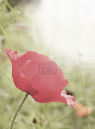 Red wild poppy flower with shallow depth of field and bright su