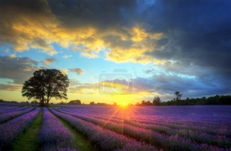 Stunning atmospheric sunset over vibrant lavender fields in Summ