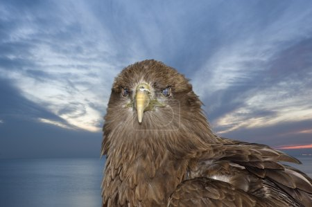 Portrait of tawny eagle against sunset sky