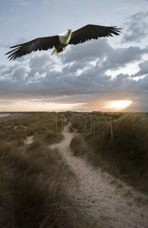 African fish eagle in flight over sand dunes landscape