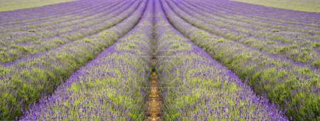 Beautiful low angle wide shot of colorful lavender field