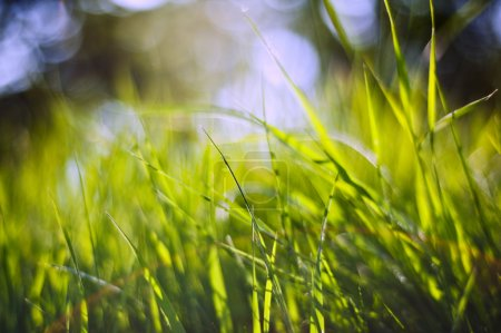 Spring nature background with grass blades and defocussed lights
