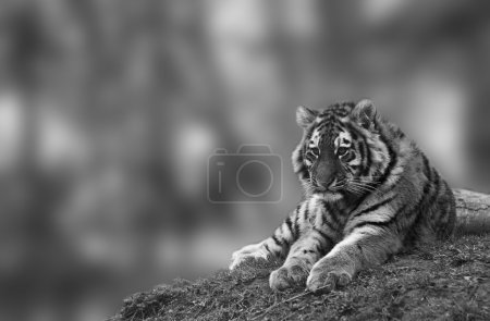 Beauttiful image of lovely tiger cub relaxing on grassy mound in