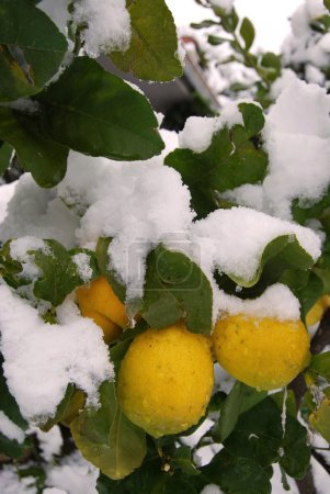 A lemon tree flooded by snow