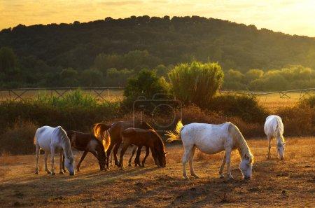 Photo pour Chevaux blancs et bruns pâturant à la campagne au coucher du soleil - image libre de droit