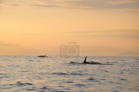 Killer whale swimming next to a boat at sunset time