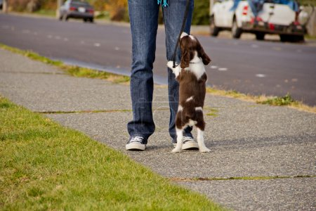 Photo for Young English Springer Spaniel puppy begging at feet of young woman - Royalty Free Image