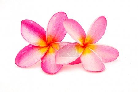 Photo pour Deux belles fleurs roses humides de Frangipani (Plumeria). Image isolée sur fond de studio blanc . - image libre de droit