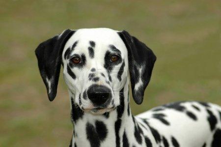 A beautiful Dalmatian dog head portrait with cute ...