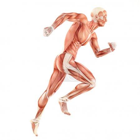 Photo pour Exécuter le muscles homme anatomie système isolé sur fond blanc. Voir plus d'illustrations des muscles humains dans mon portefeuille - image libre de droit