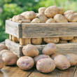 Potato crop in a wooden box. Against the backdrop ...