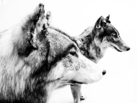 Wolves in black and white