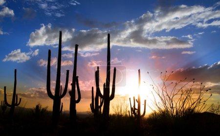 Photo for Sun set and Saguaro cactus in Saguaro national park - Royalty Free Image