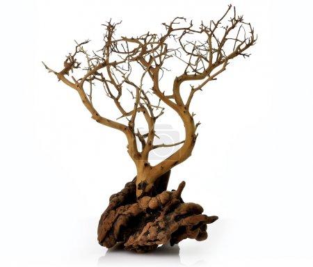 Photo pour Un arbre sec sur fond blanc - image libre de droit