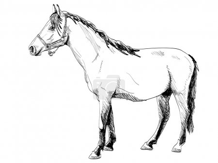 Illustration for Isolated white outline horse - illustration - Royalty Free Image