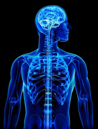 X-ray with brain and spinal cord concept