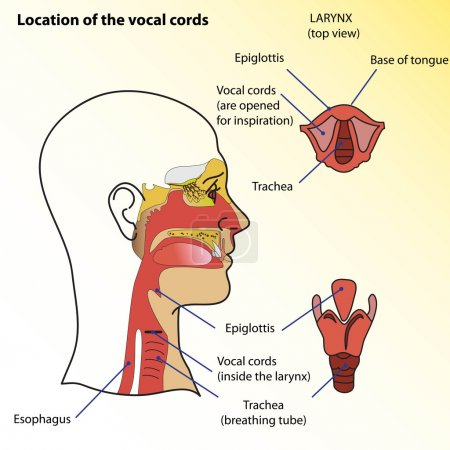 Medical poster. Location of the vocal cords of man.