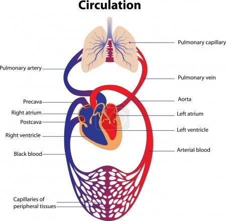 Illustration pour Représentation schématique du système circulatoire humain. Affiche . - image libre de droit