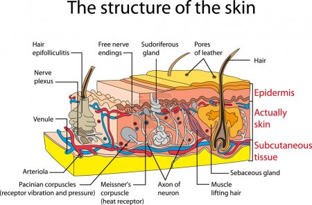Skin cross section. Educational poster...
