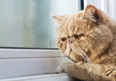 Photo pour Photo portrait agrandi d'un chat de cpa, regardant à travers une fenêtre - image libre de droit