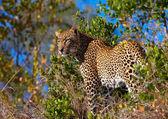 Leopard állandó szavannakezében a fiatal nő holding ginkgo levél